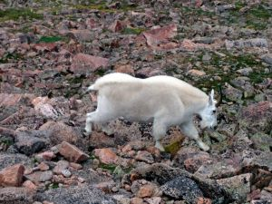 Mountain Goat near the summit of Mt. Bierstadt